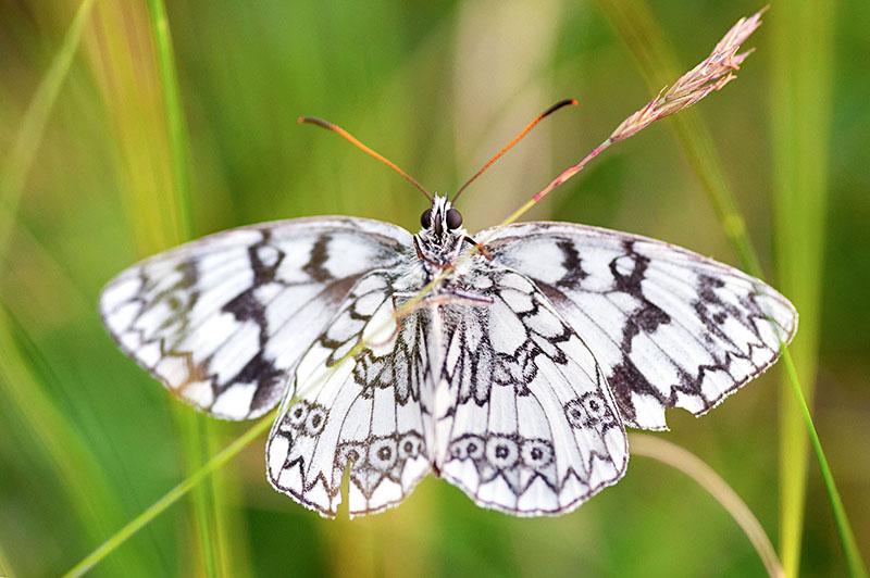 Macro fotografia farfalla su un filo d'erba