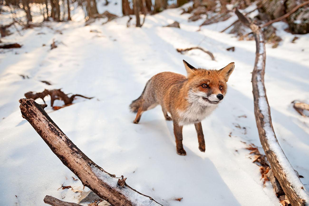volpe Abruzzo fauna neve