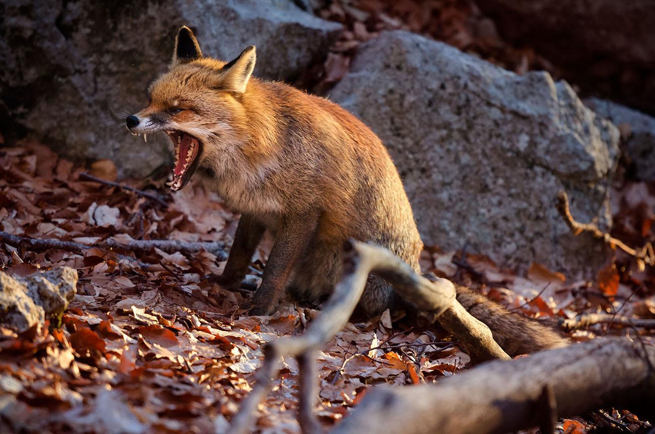 Andrea Rizzi volpe Abruzzo fauna