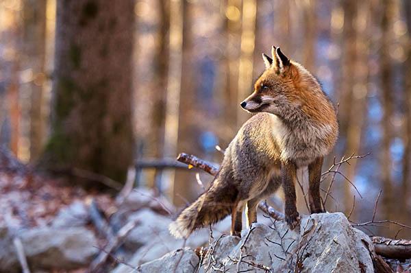 volpe Abruzzo fauna