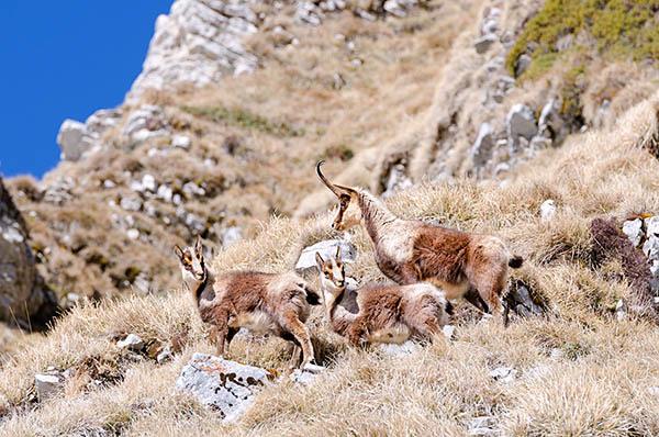 Camoscio Abruzzo fauna camosciara