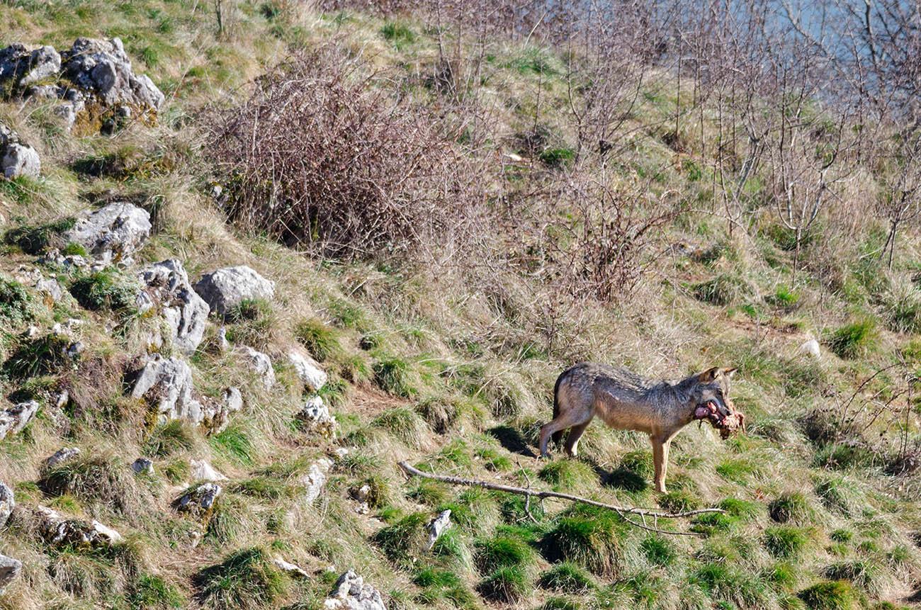 Lupo Abruzzo fauna camosciara