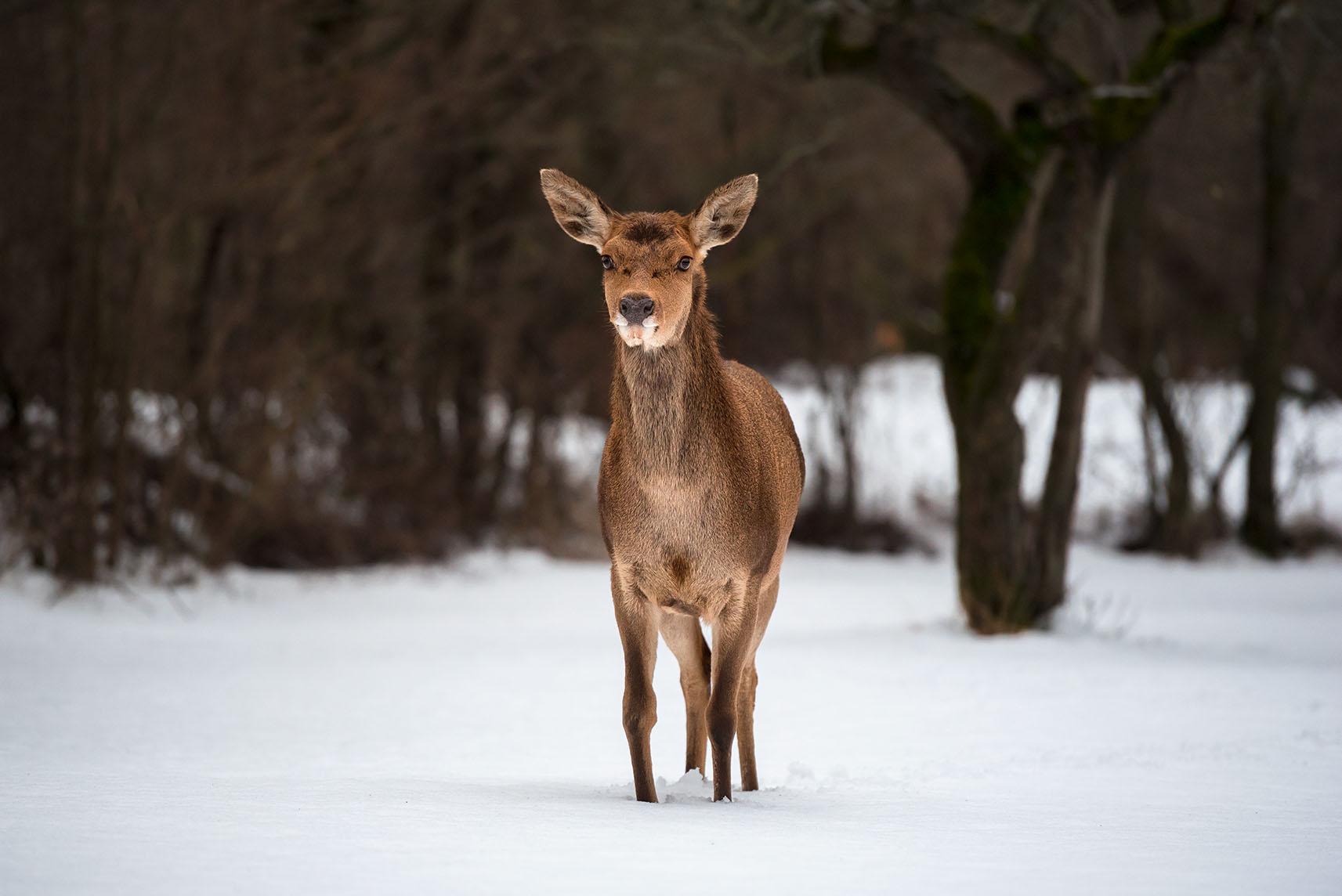 Cervo Abruzzo fauna camosciara